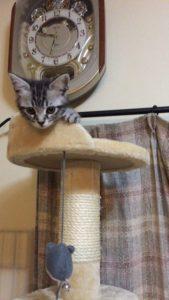 キャットタワー子猫にも必要