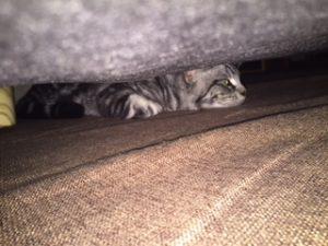 地震でソファーの下にかくれるうつろな目の猫