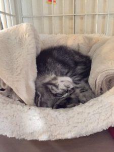 マカロンベッドに寝る子猫