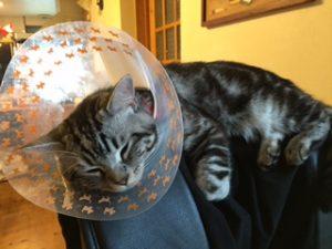 エリザベスカラーで寝るネコ